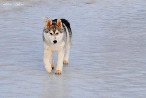 Šiaulių rajone dingo šuo: šeimininkai prašo pagalbos