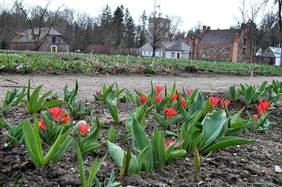 Per Tulpių žydėjimo šventę prognozuojami kamščiai