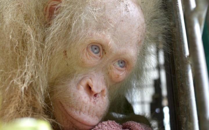 Borneo saloje aptiktas itin  retas orangutangas albinosas