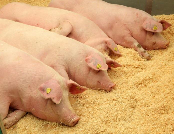 Per savaitę - keturi nauji afrikinio kiaulių maro židiniai smulkiuose ūkiuose