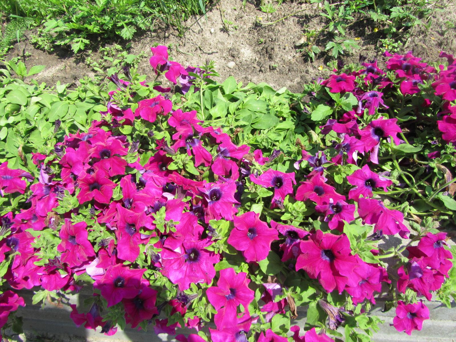 Į Lietuvą įvežtos genetiškai modifikuotos gėlės