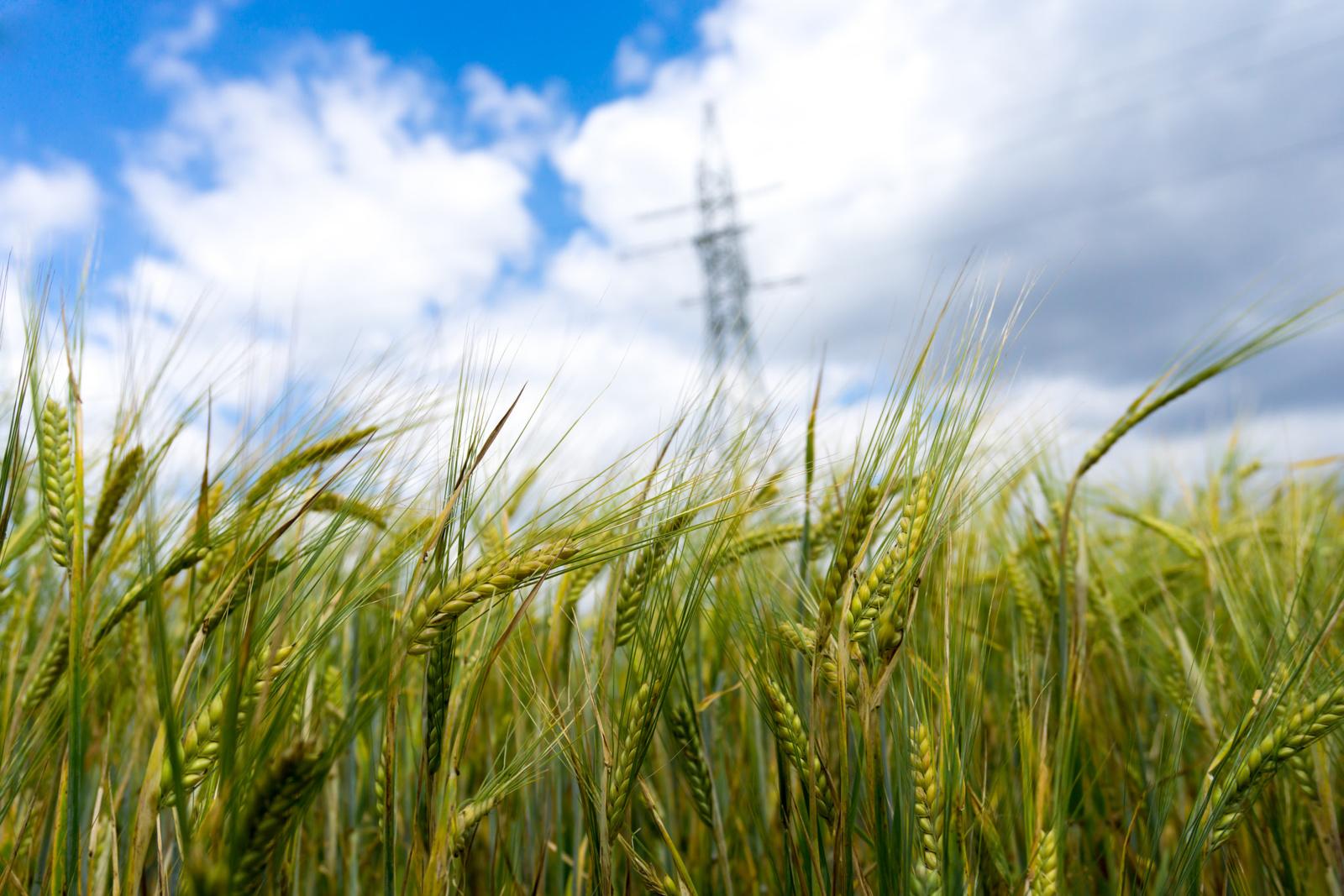 Lietuvoje šiemet derlius prognozuojamas gausesnis nei pernai