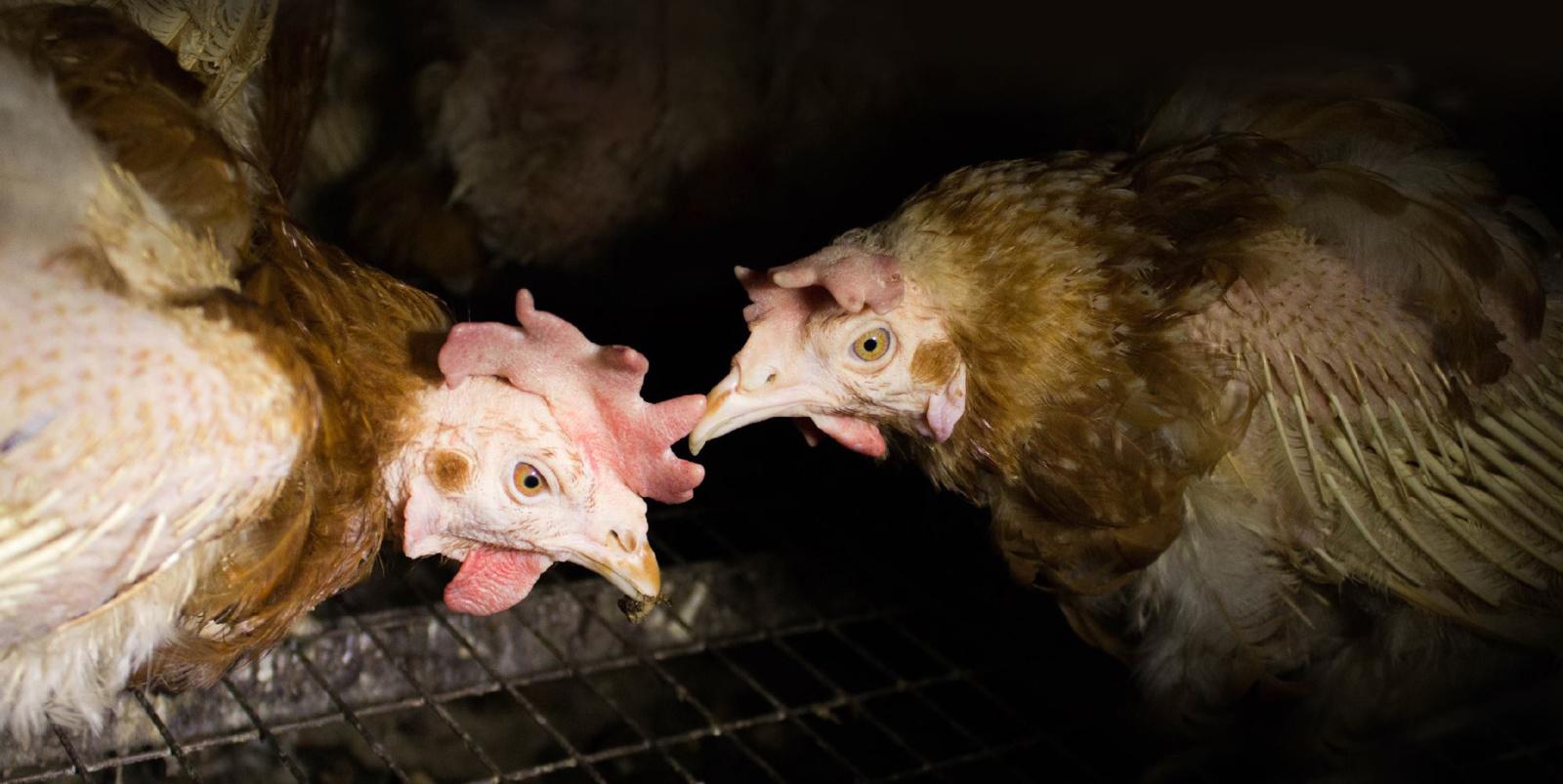Gyvūnų teisių gynėjai ragina griežčiau vertinti padėtį paukštynuose (VIDEO)