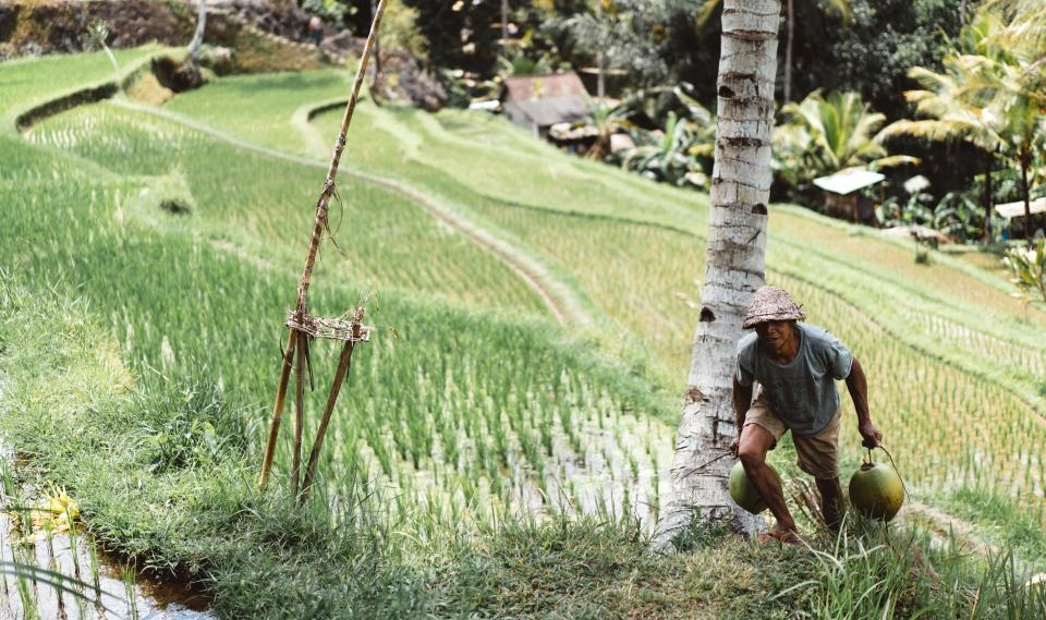 """Į rinką nepateko 18 tonų pesticidais užterštų """"Basmati"""" ryžių"""