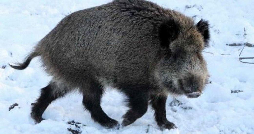 Pakruojo rajone nuo afrikinio kiaulių maro nugaišo 40 šernų