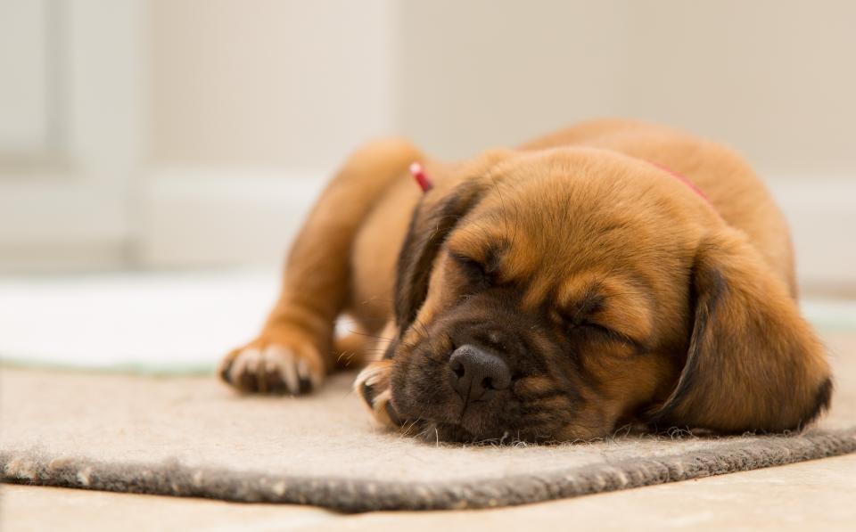 Ką būtina turėti prieš įsigyjant šunį?
