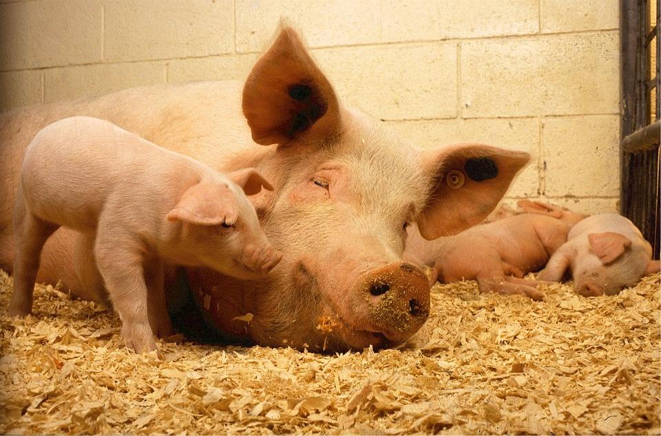 Afrikinis kiaulių maras siautėja ne tik ūkiuose