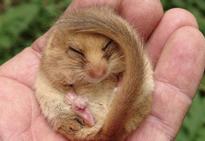 Neries regioniniame parke užfiksuota lazdyninė miegapelė jau pasiruošusi žiemos miegui