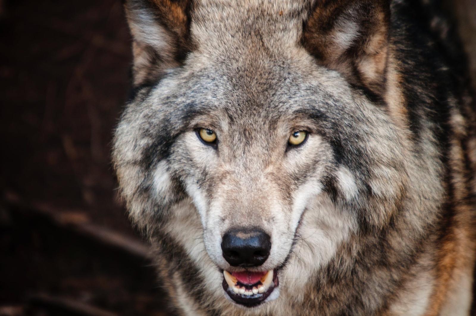 Dusetų seniūnijoje sumedžiotas vilkas