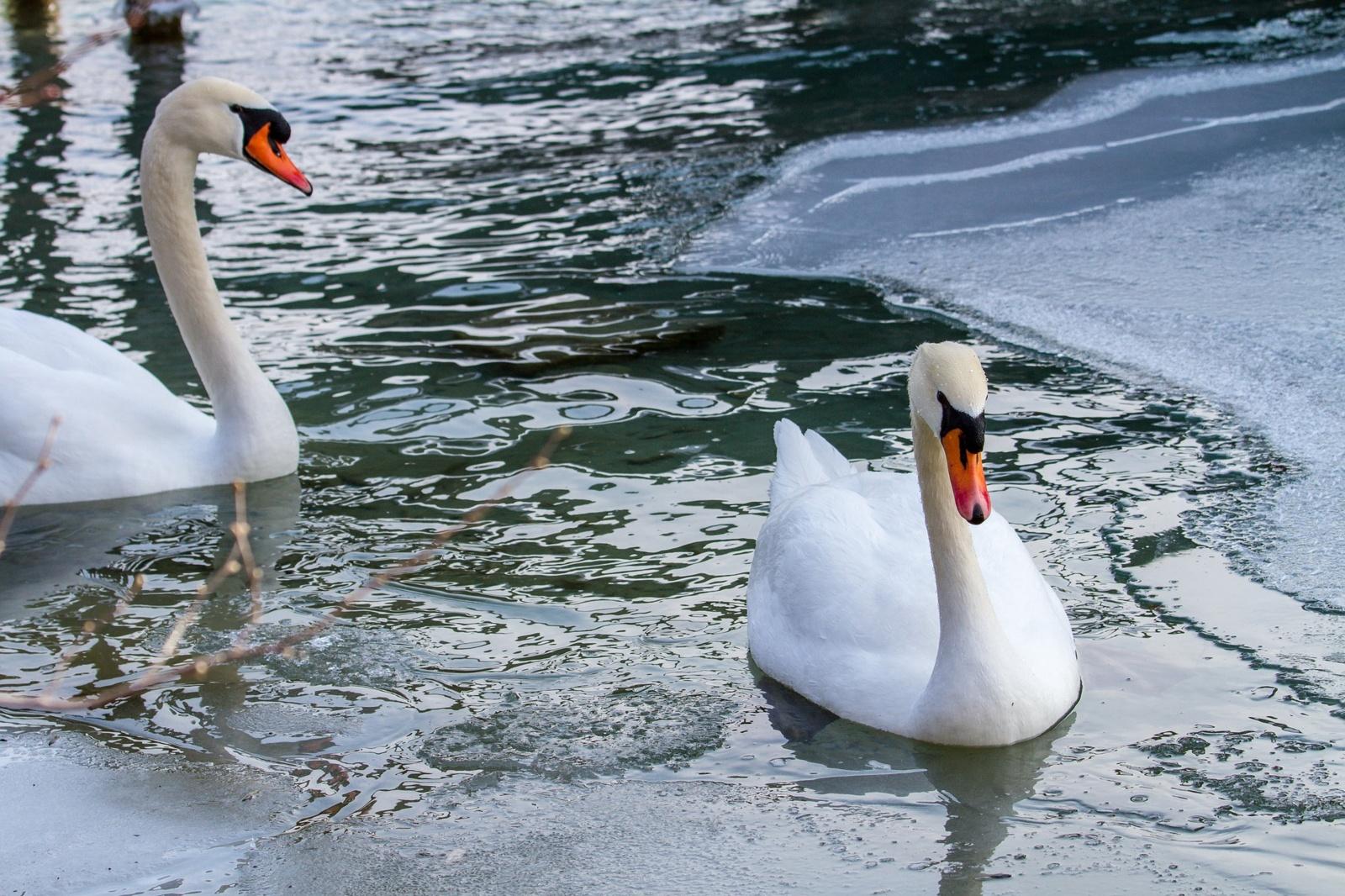 Panika dėl gulbių ant ledo – tik dėl gamtos nepažinimo