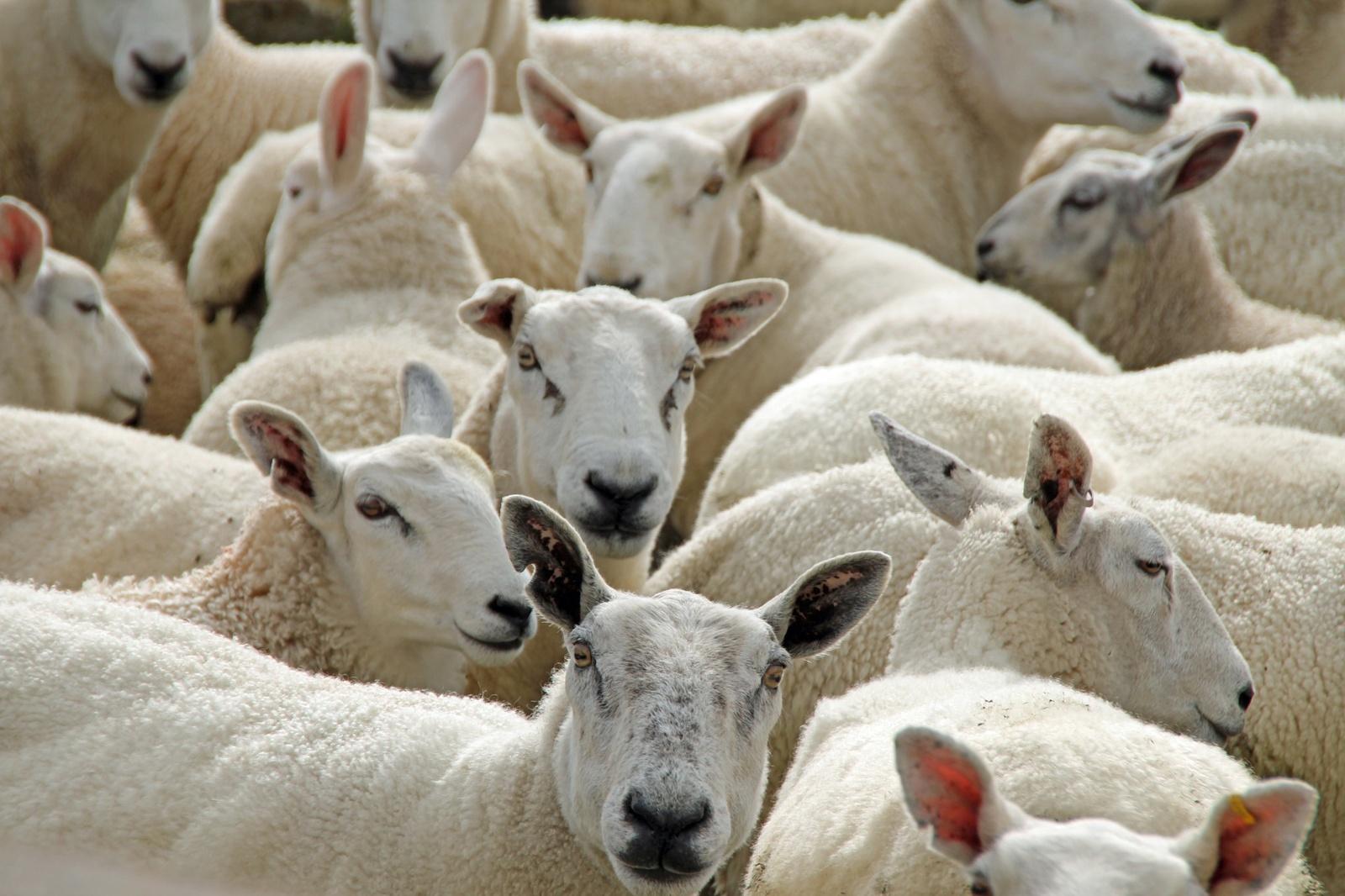 Kviečia pasinaudoti valstybės pagalba grynaveisliams ūkiniams gyvūnams įsigyti