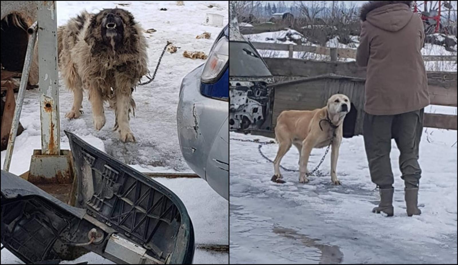 Žiaurumo protrūkis Šiaulių rajono ūkyje: įtariama, jog neprižiūrimas šuo nudvėsė iš bado (papildyta)