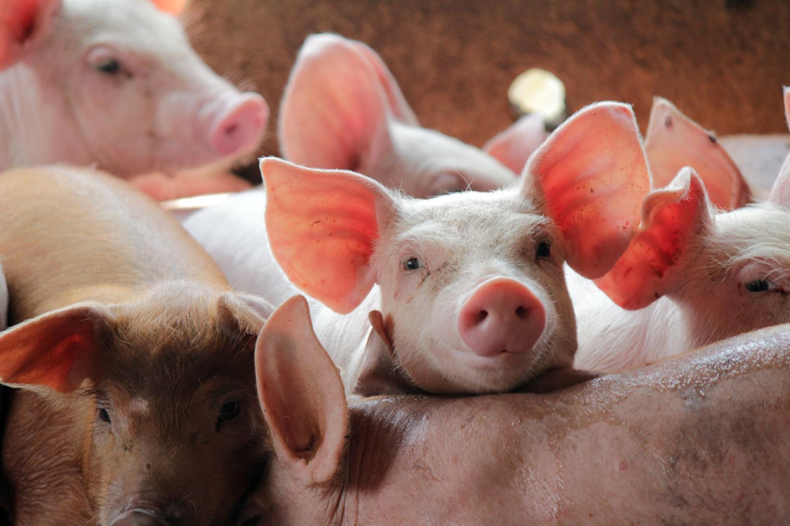 Afrikinio kiaulių maro aukų– dešimtys tūkstančių: kol nėra vakcinos, ligą sustabdyti privalome ir galime patys
