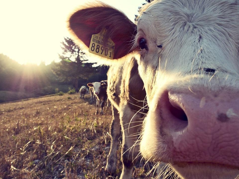Lietuvoje pieno ūkiai auga, tačiau išlieka vieni mažiausių ES