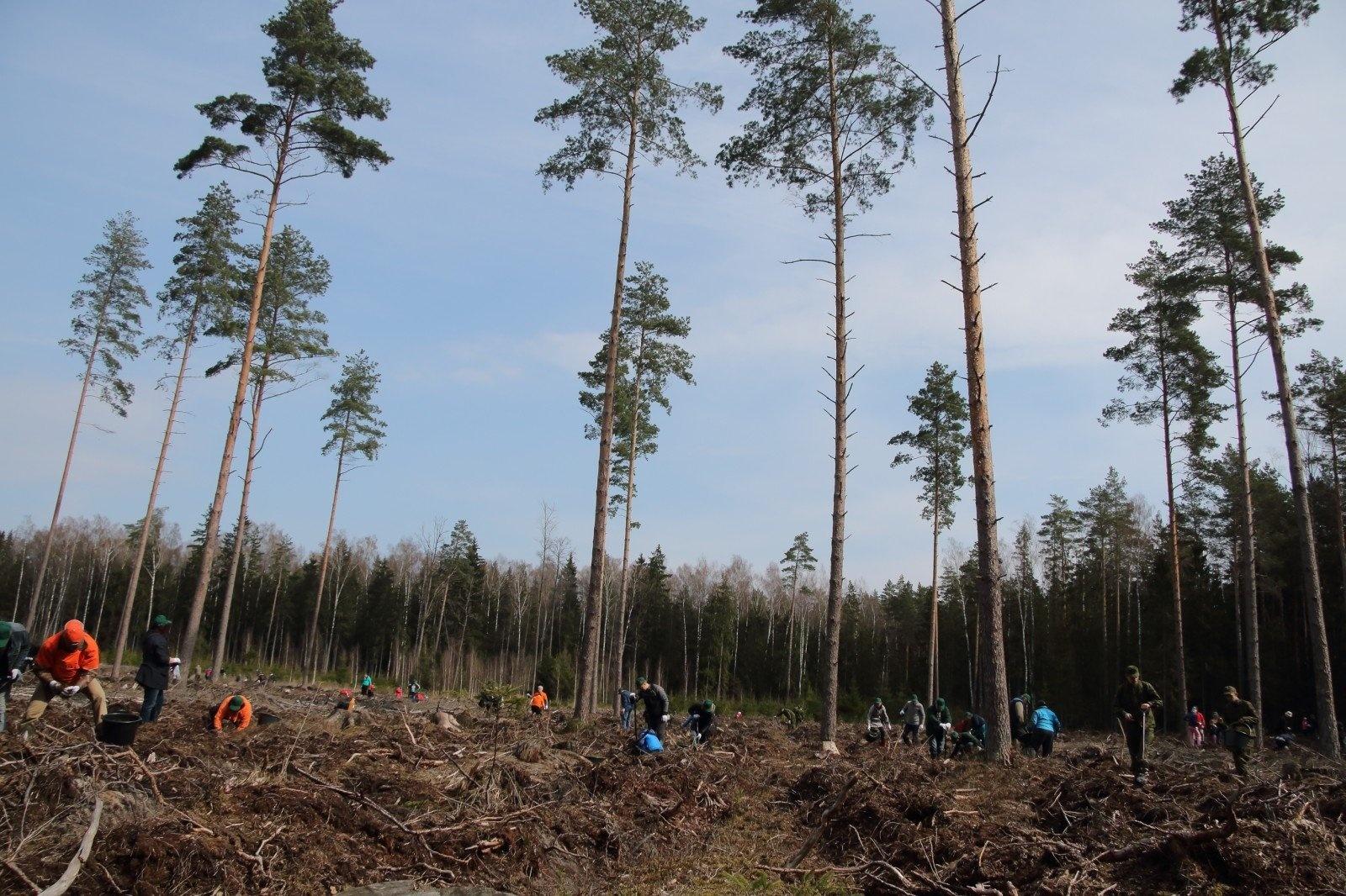 Prasidėjo miškasodis: planuojama pasodinti apie 100 hektarų miško