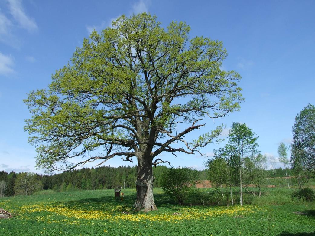 Gyventojai kviečiami aplankyti 25 įspūdingiausius medžius Lietuvoje