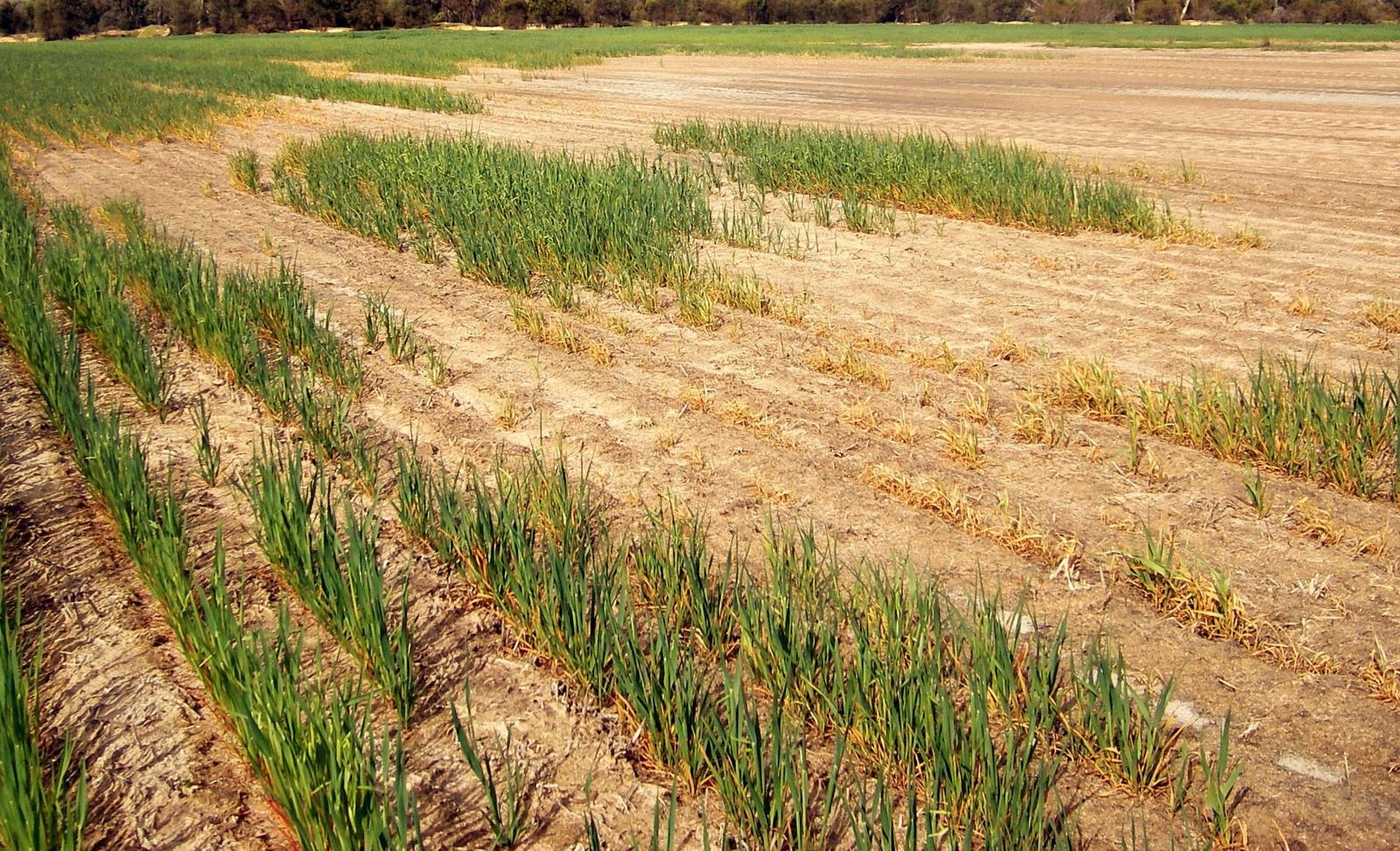 Informacija dėl paramos ūkininkams, patyrusiems nuostolių dėl sausros 2018 m.
