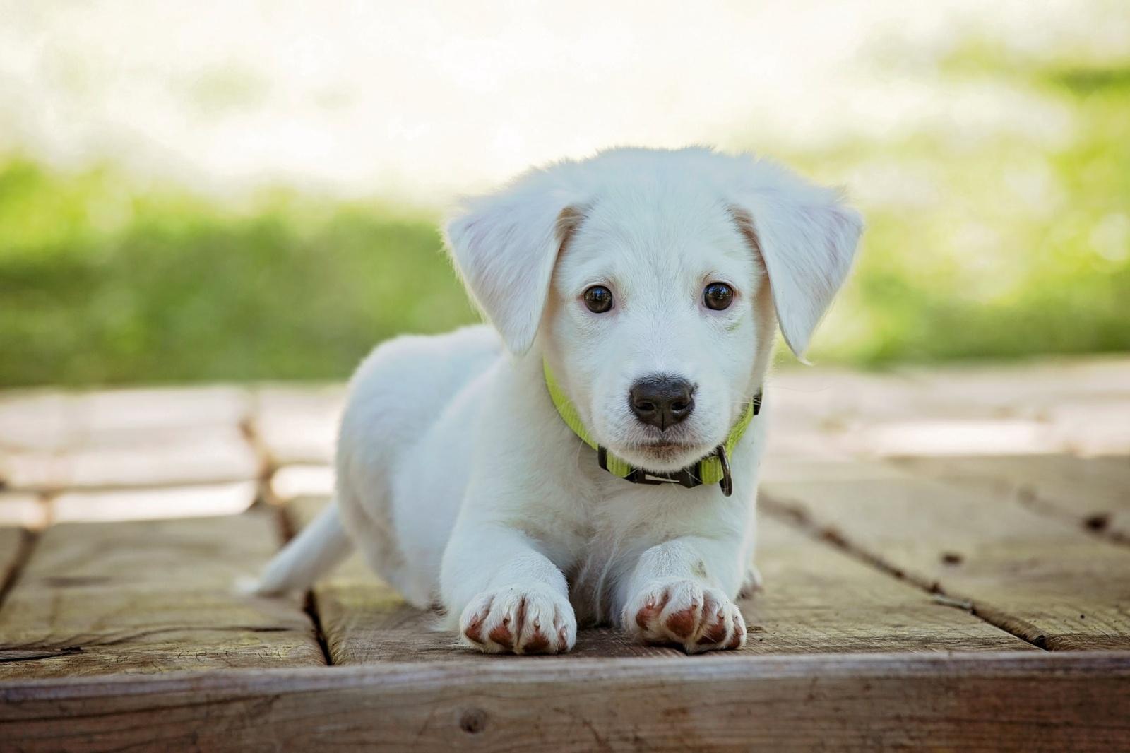 Šunų akių išvaizda evoliucionavo, kad patiktų žmonėms