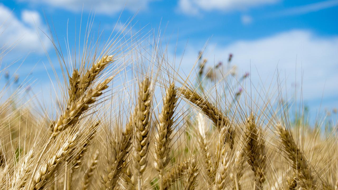 Liepos pradžioje kiek padidėjo kviečių supirkimo kaina