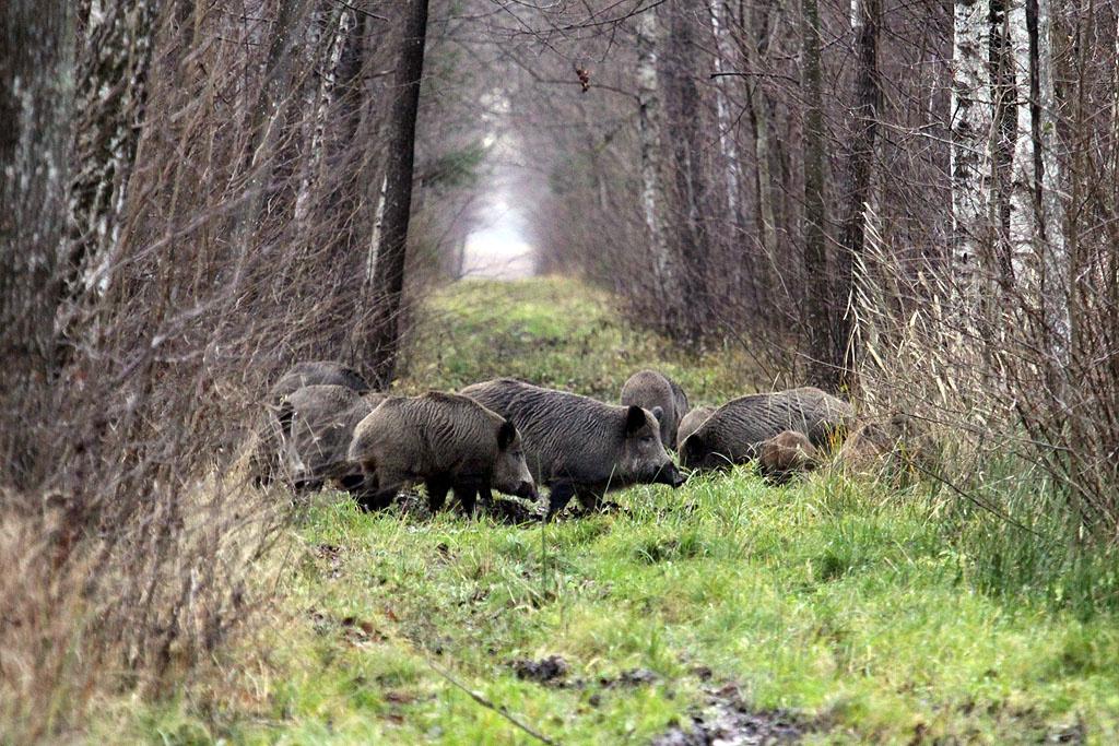 Skaičiai rodo: mažėjant šernų, Afrikinis kiaulių maras kelia koją iš Širvintų rajono
