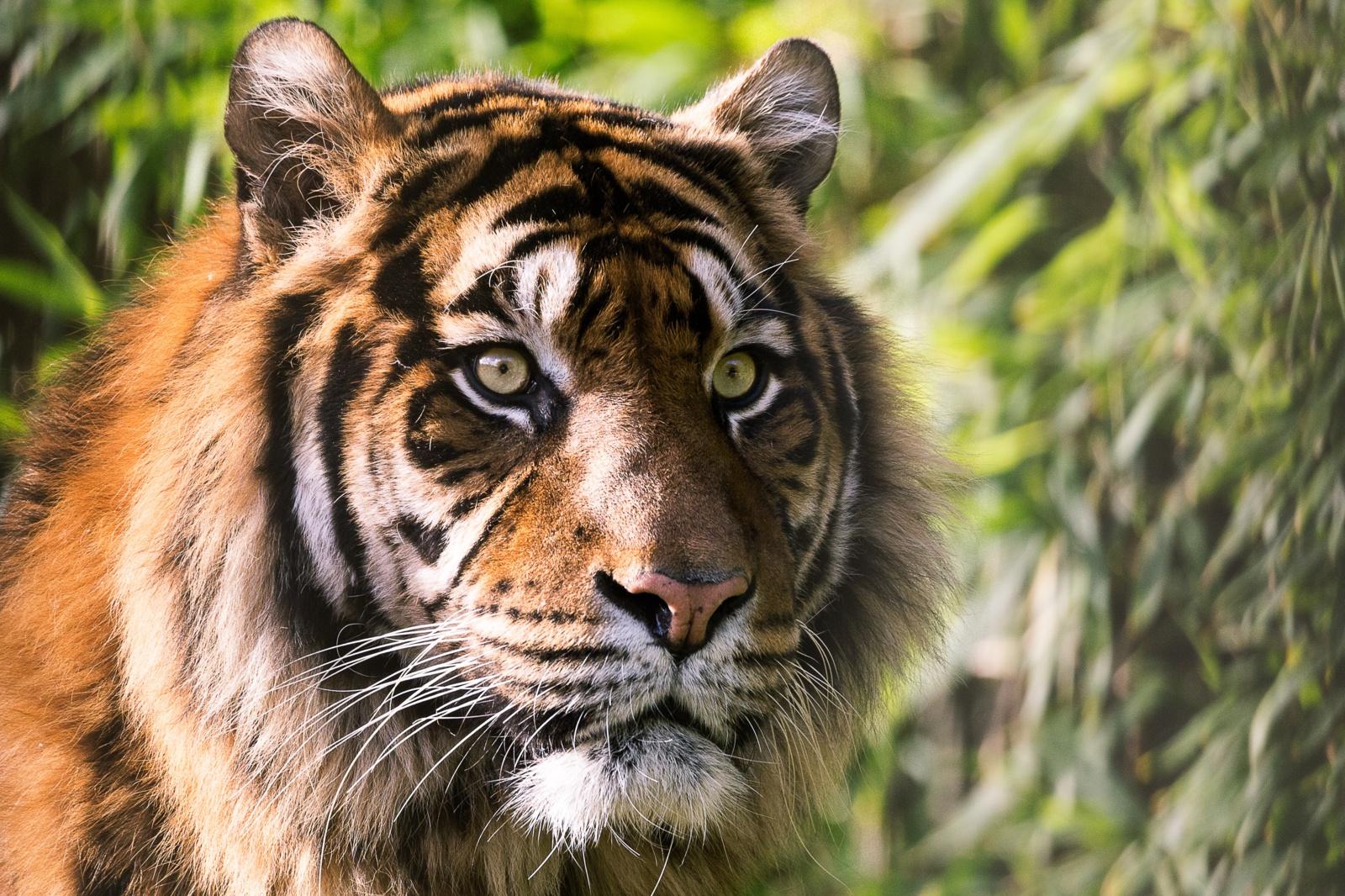 Tigrų populiacija Indijoje padidėjo 33 proc.