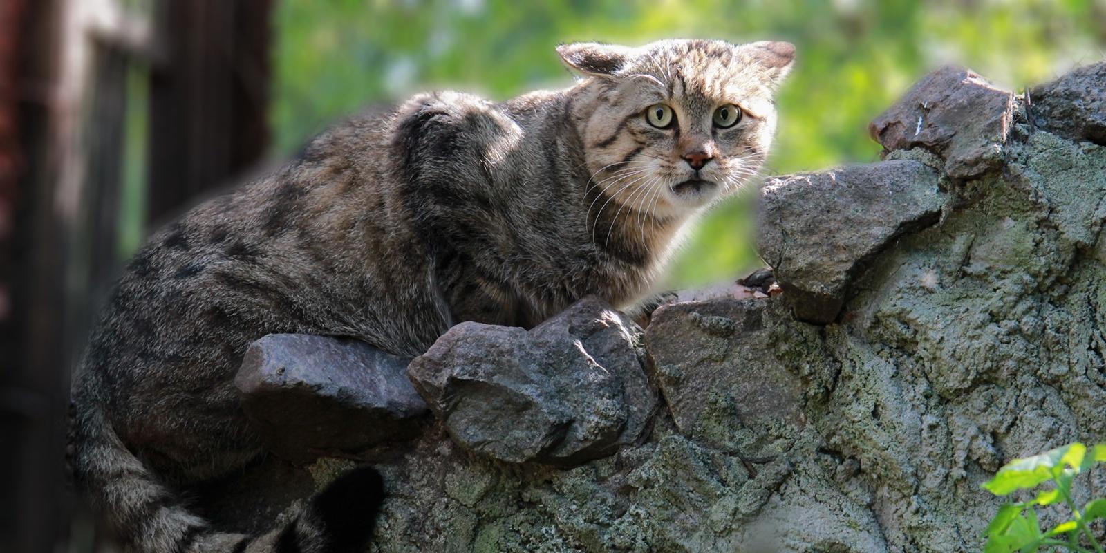 Lietuvoje išnykusių kačių jauniklis Lietuvos zoologijos sode