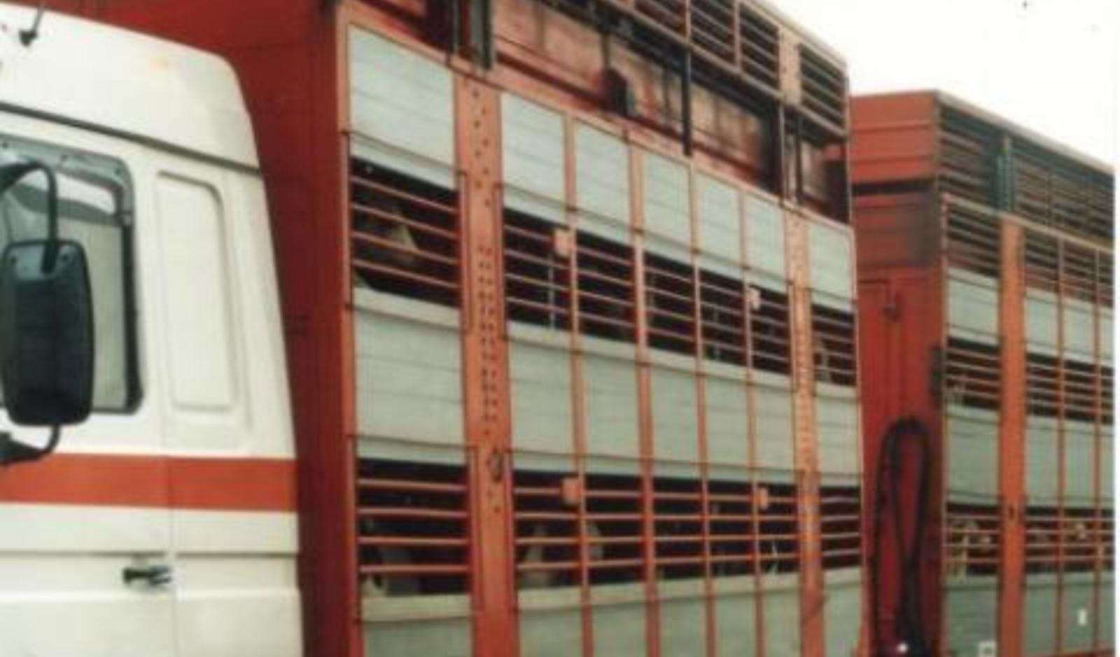 Dėl netinkamo veršelių gabenimo pradėtas tyrimas, gresia sankcijos