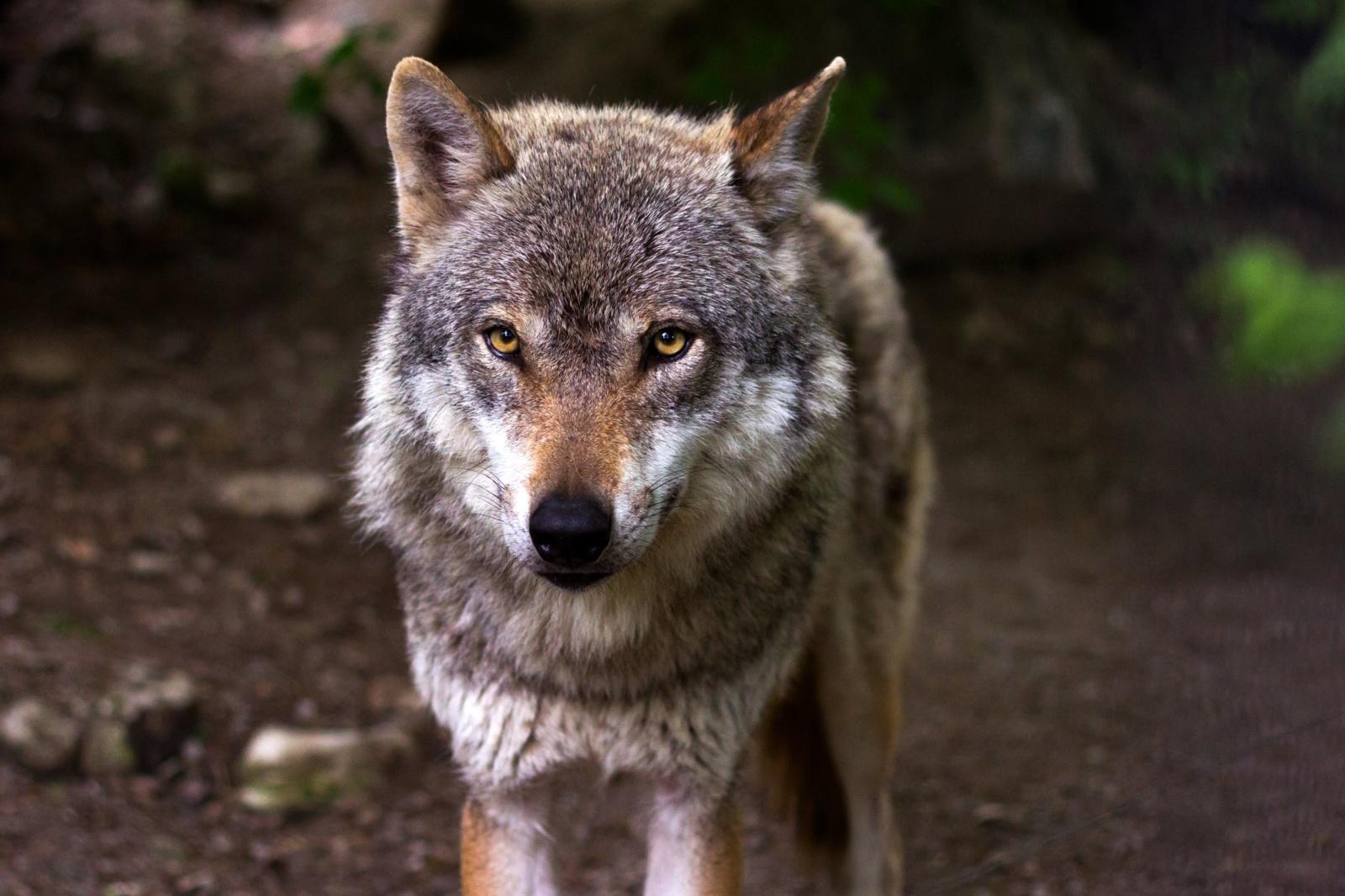Per dvi paras vilkai papjovė 16 avių