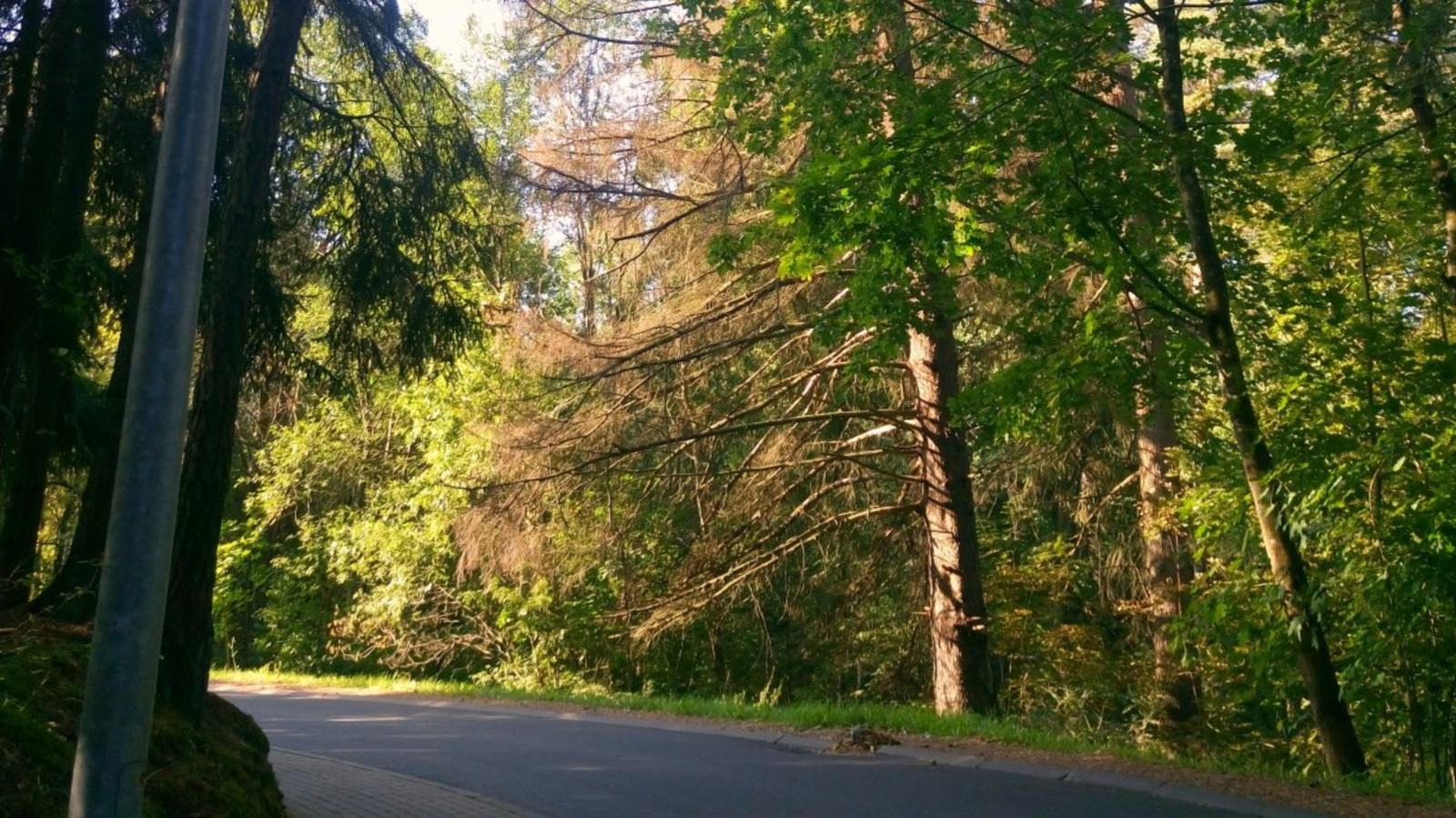 Anykščių šilelio draustinyje šalinami pavojingi medžiai