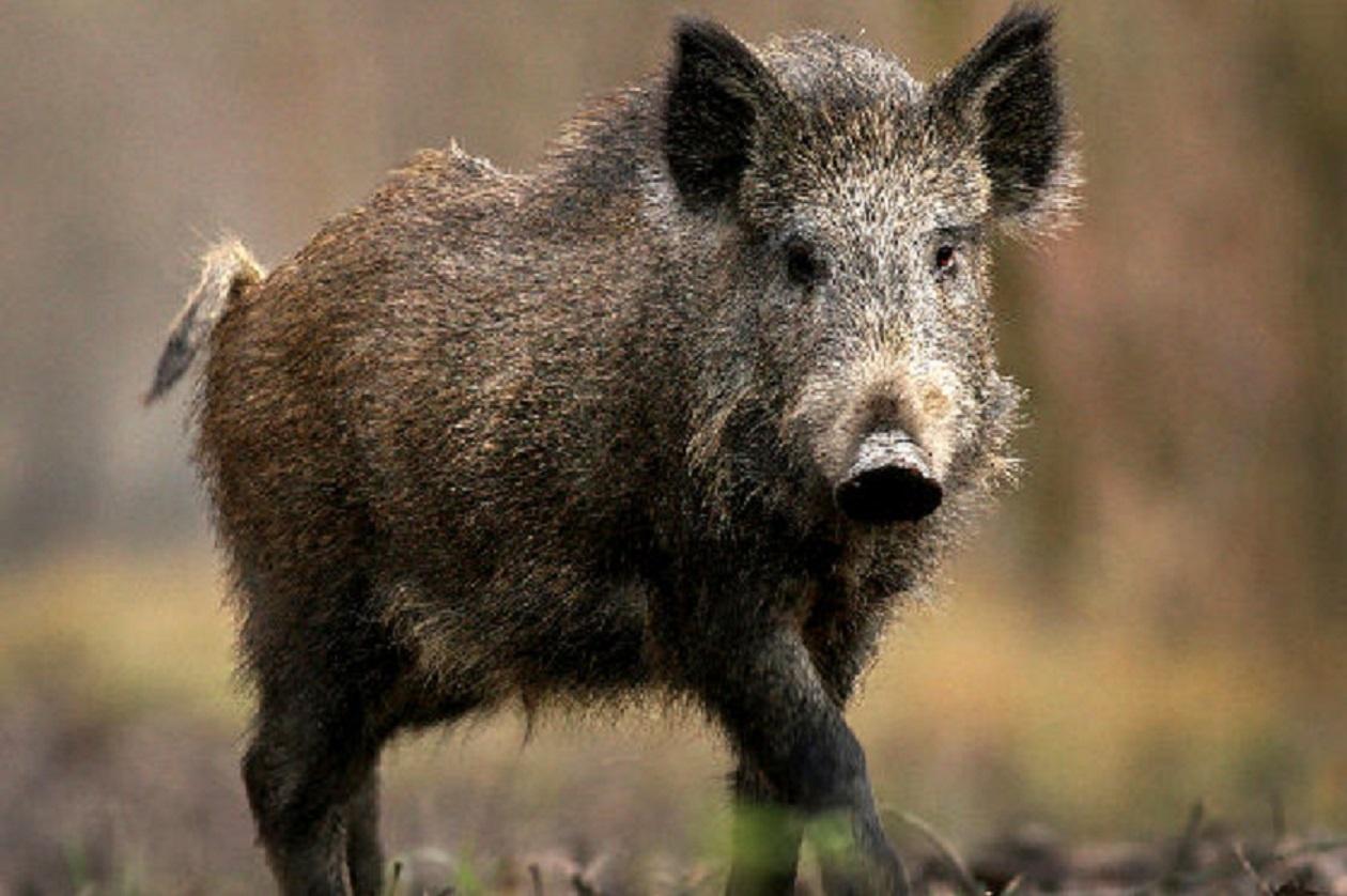 Vienam šernui nustatytas afrikinio kiaulių maras