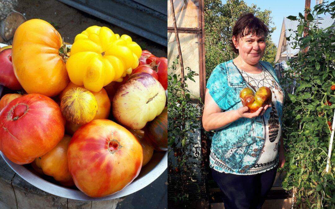 Rokiškėnės šiltnamiuose – kelios dešimtys rūšių pomidorų
