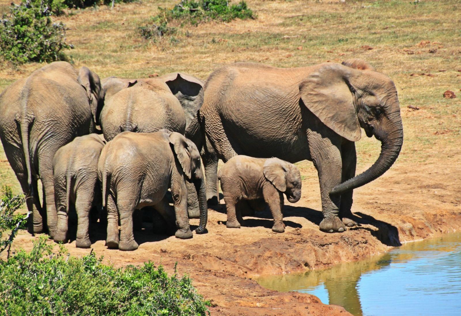 Tailando nacionaliniame parke nuskendo šeši drambliai, kiti du išgelbėti