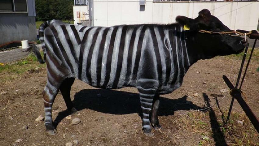 Mokslininkai karves nudažė kaip zebrus ir neatsistebėjo rezultatais