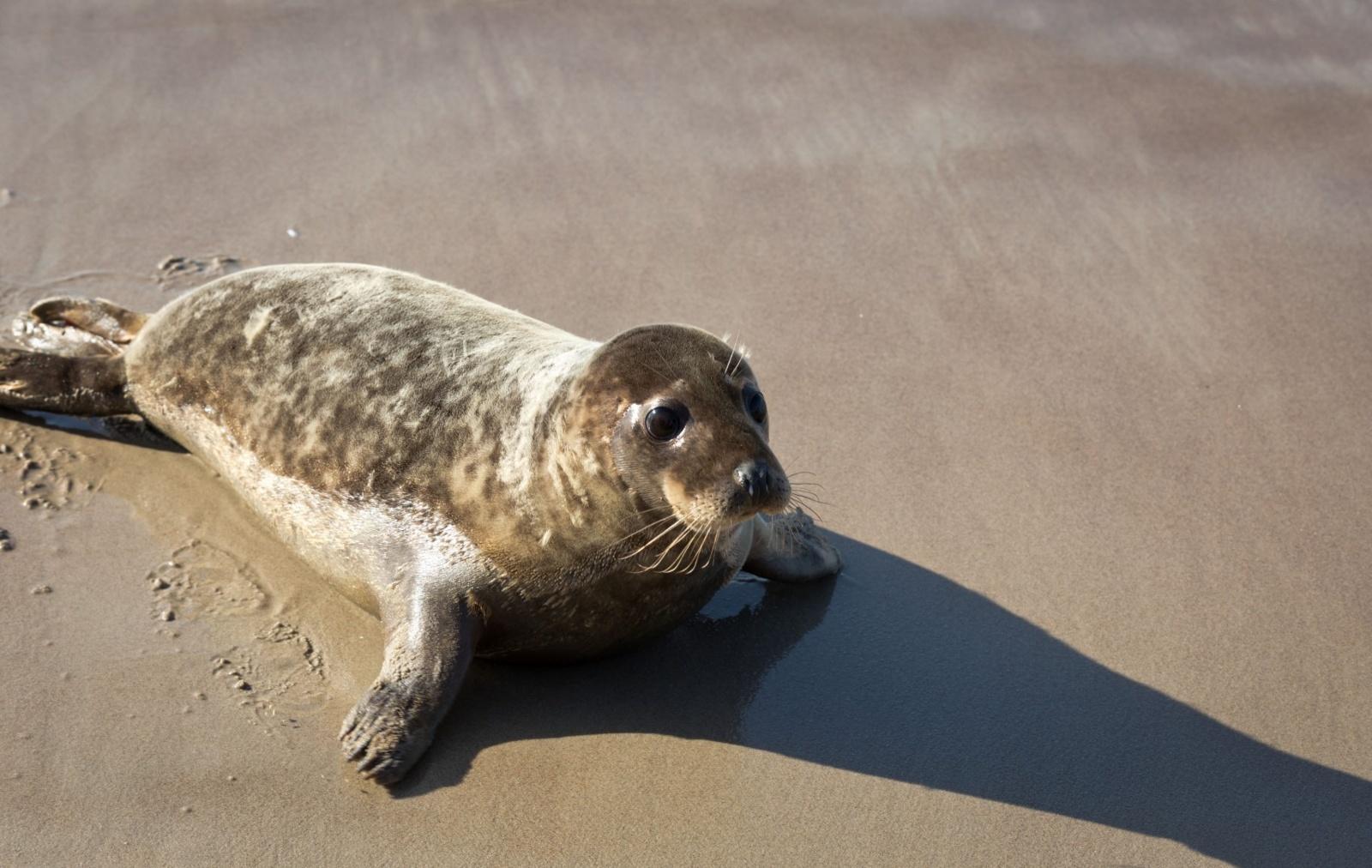 Į Baltijos jūrą bus paleista 11 ruoniukų