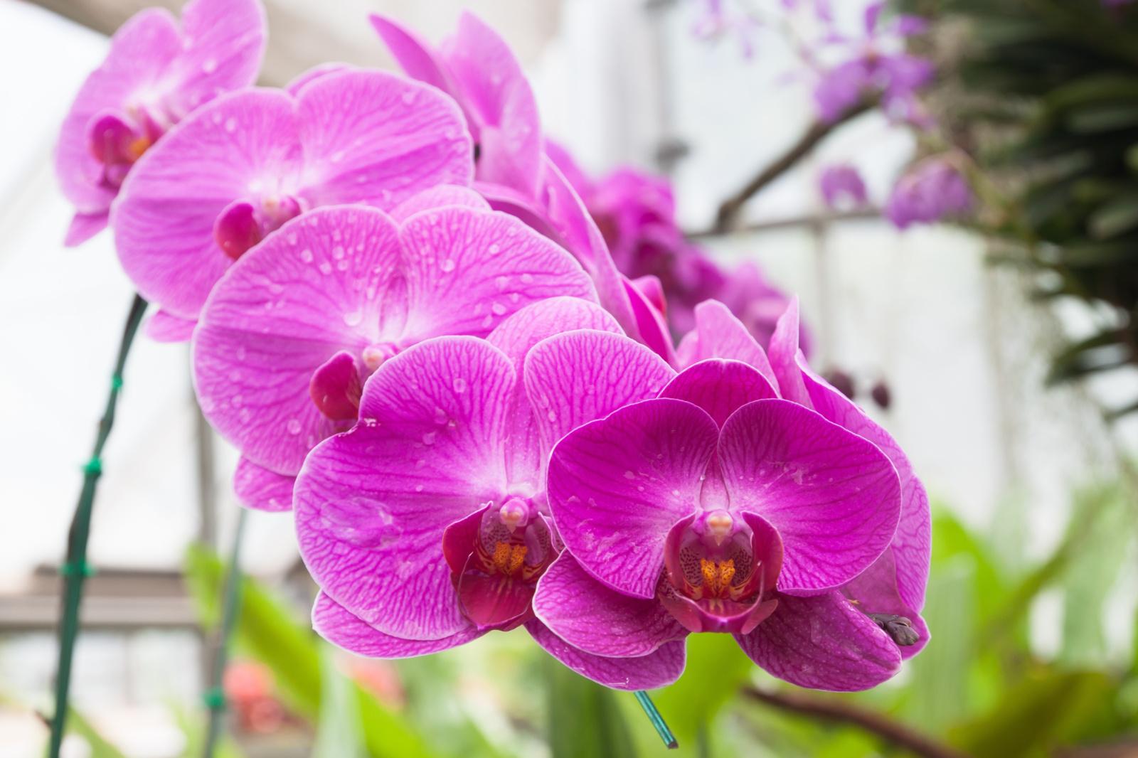Šeši patarimai, kad orchidėja nuolat žydėtų