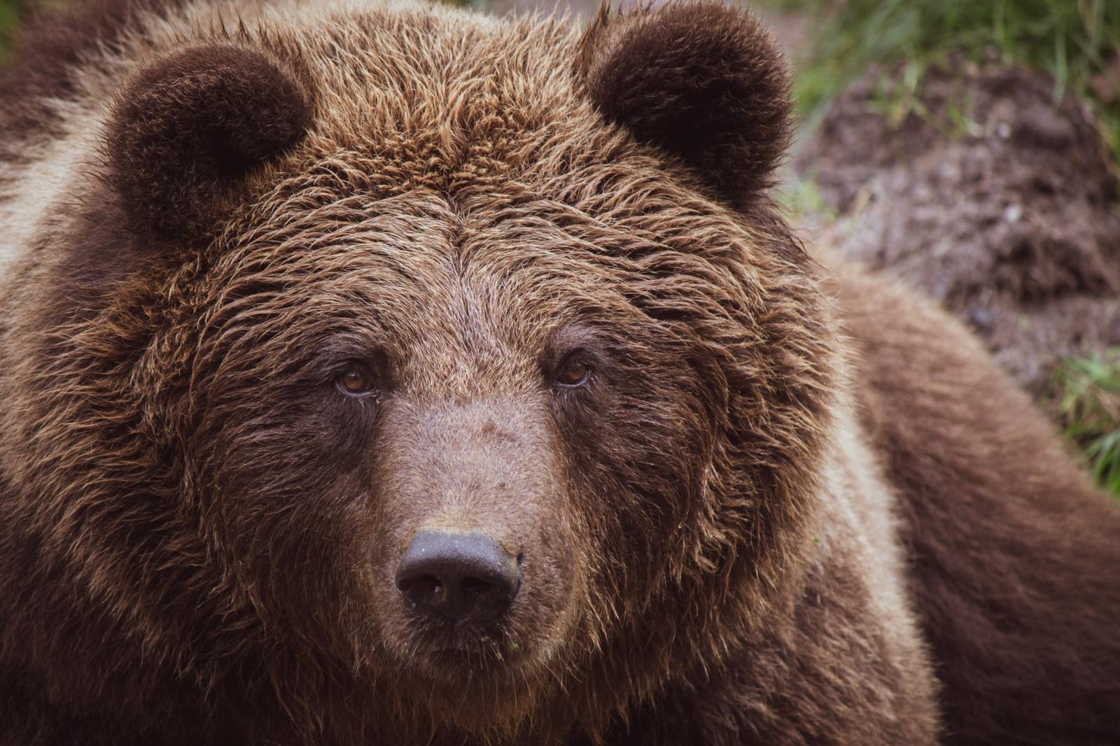Rudojo lokio žiemojimo atvejai Lietuvoje liudija: ši rūšis sugrįžta į savo senąsias girias
