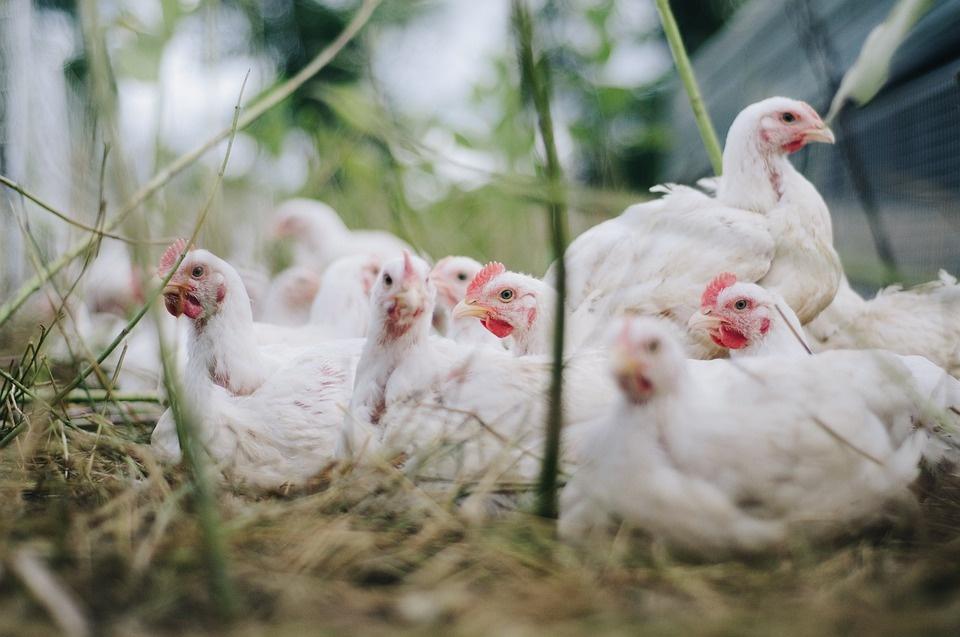 Nustatyti nauji paukščių gripo protrūkiai