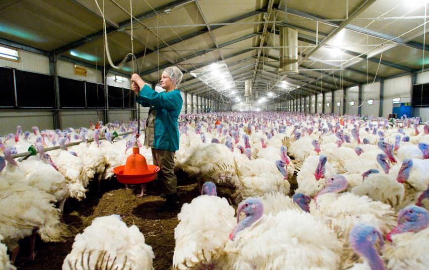 Paukščių gripas toliau plinta: Lenkijoje patvirtinti trys nauji protrūkiai