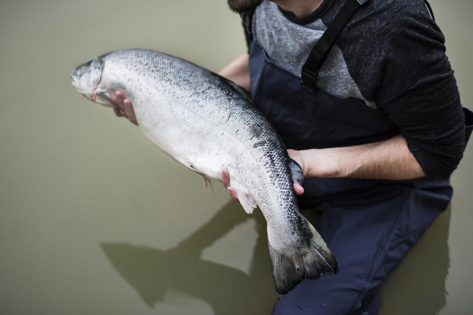 Griežtinami žvejybos reikalavimai lašišinėms žuvims geriau apsaugoti