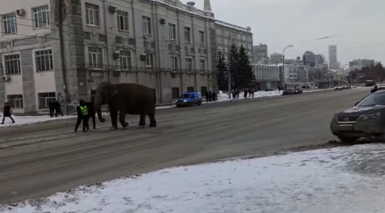 Rusijoje iš cirko buvo pabėgę du drambliai