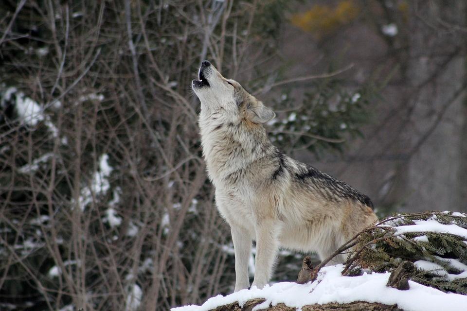 Seimo komitetas siūlo vilkų sumedžiojimo limitą didinti iki 150