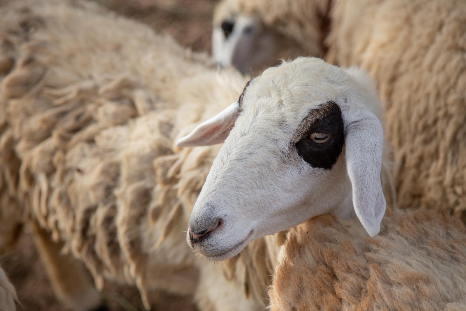 Tarptautinis gyvulių transportavimas – pastovi kova su kraupiomis sąlygomis