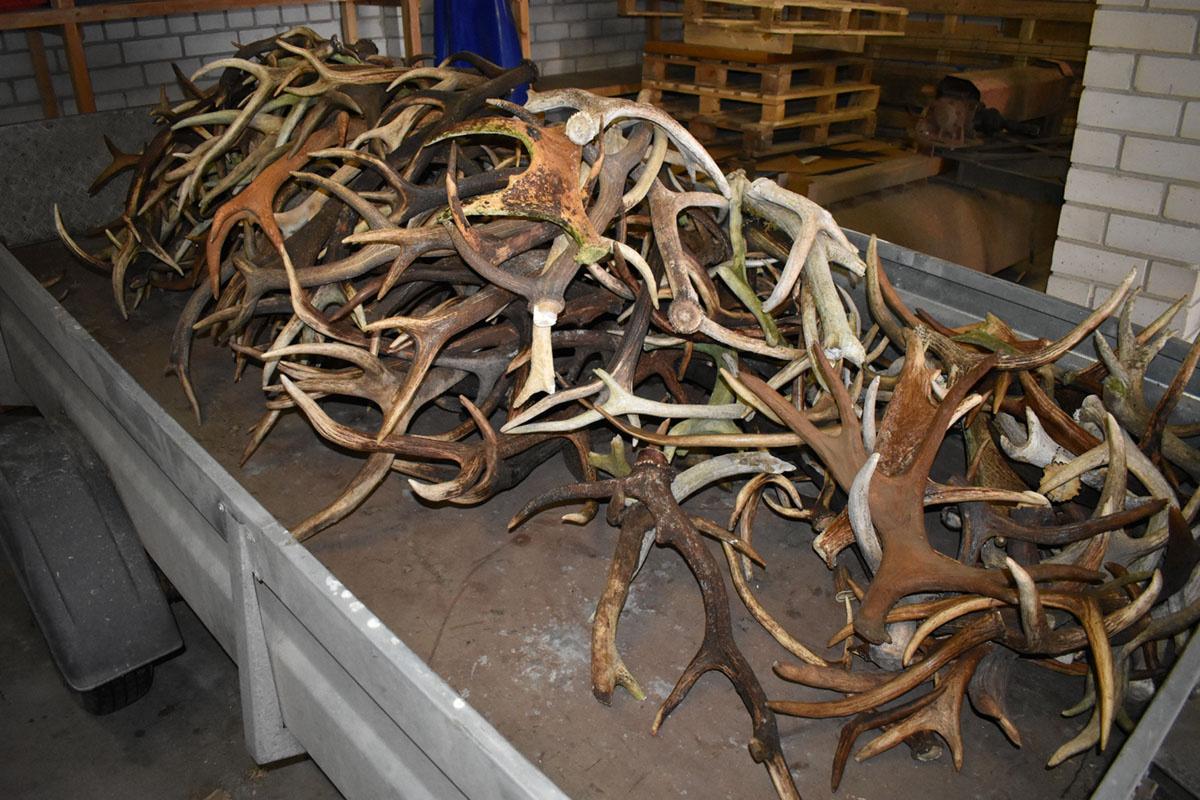 Pasieniečiai joniškiečio mašinoje rado 200 briedžių ir elnių ragų