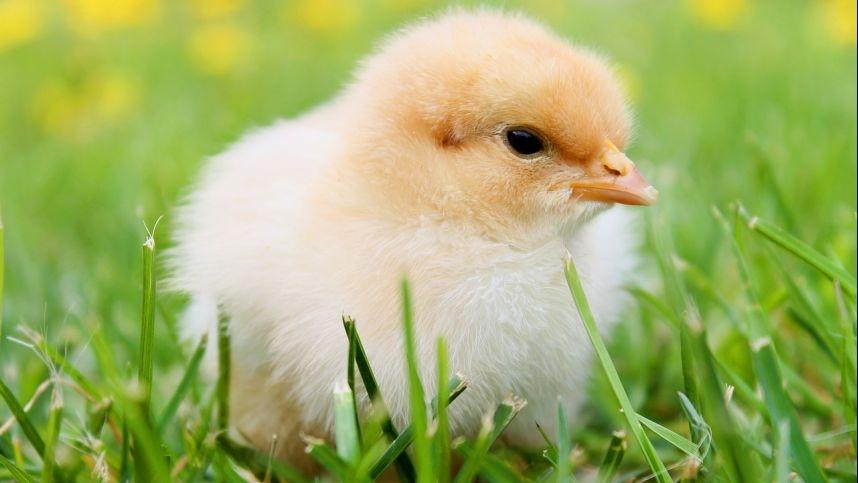 Vyriškos lyties viščiukų naikinimo uždraudimas – kol kas tik ambicingas planas?