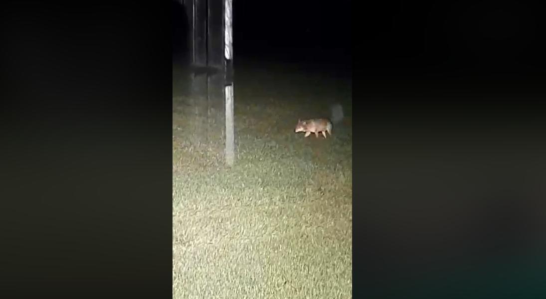 Vilkai sekioja paskui miškininkus: jie bijo išlipti iš mašinos kabinos (vaizdo įrašas)
