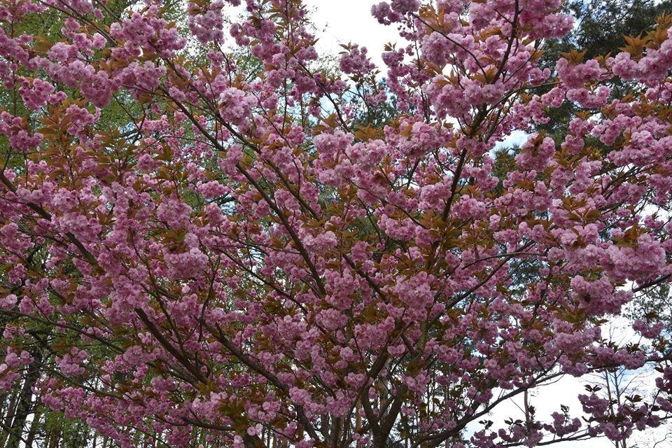 Dauniškio parke žiedus išskleidė gražuolė sakura
