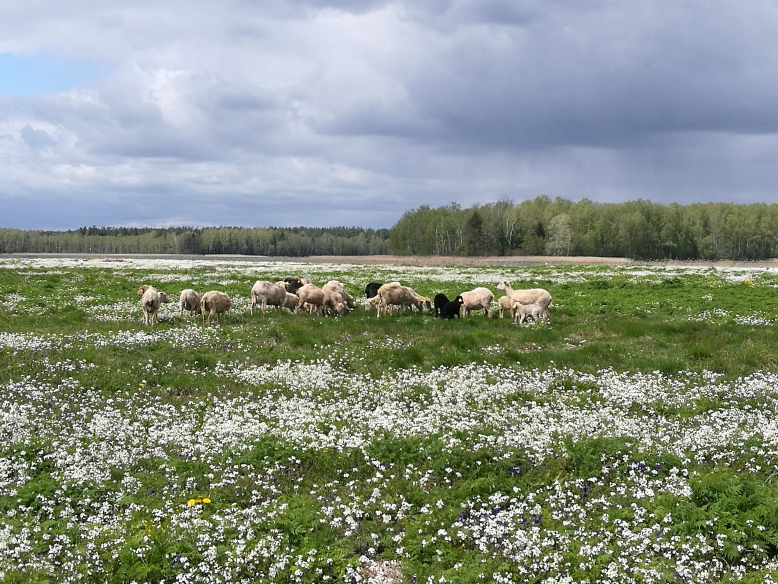 Į pagalbą Kretuono ežero salos paukščiams – lietuviškos škudės