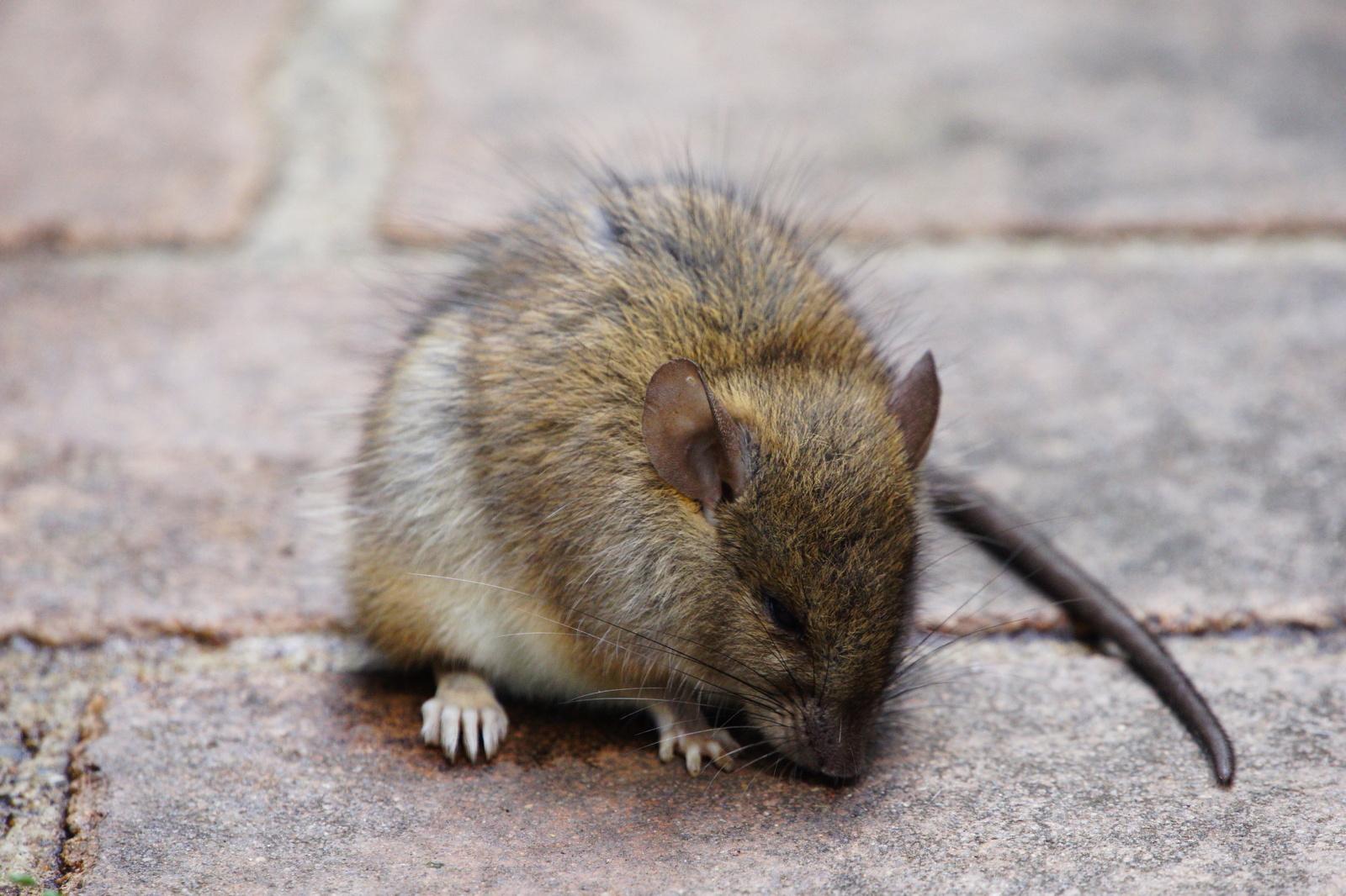 Pasisaugokite žiurkių – dėl pandemijos pasikeitė jų elgesys (vaizdo įrašas)