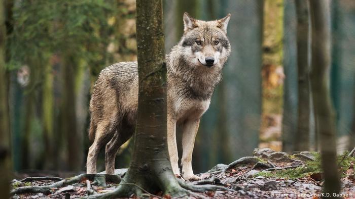 Vilkai Utenos rajone pjauna naminius gyvulius