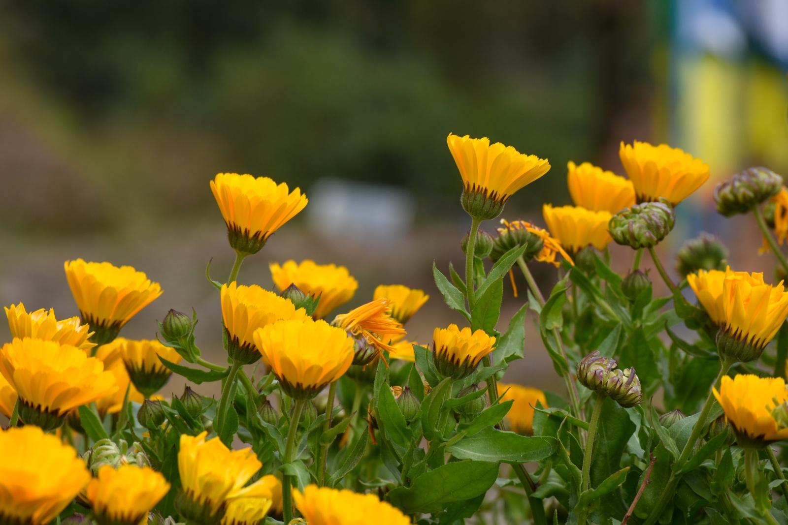 Sužinokite, kurie augalai gali apsaugoti jus nuo vabzdžių